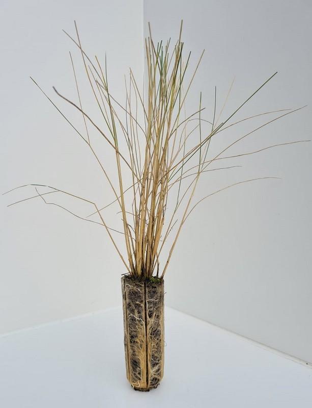 Cell Grown Ammophila arenaria - Marram Grass