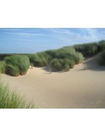 Ammophila arenaria - Marram Grass sand dune