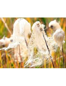 Eriophorum angustifolium - Cottongrass seedheads