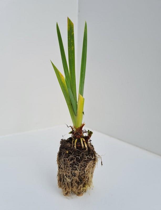 Cell Grown Iris pseudacorus - Yellow Flag Iris
