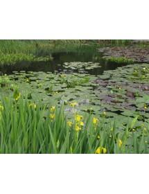 Iris pseudacorus - Yellow Flag Iris in pond location