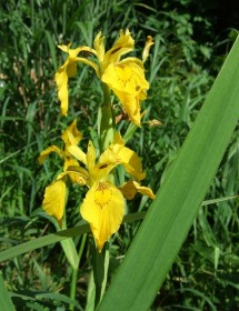Iris pseudacorus - Yellow Flag Iris flowers