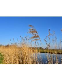 Phragmites australis - Common reed on river margin