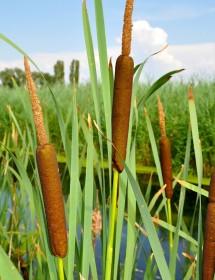 Typha latifolia - Common Reed Mace (Bulrush) seedheads