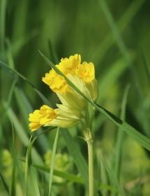 Primula veris - Cowslip