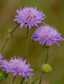 Knautia arvensis - Field Scabious