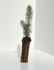 Picea meyeri - Meyer's Spruce