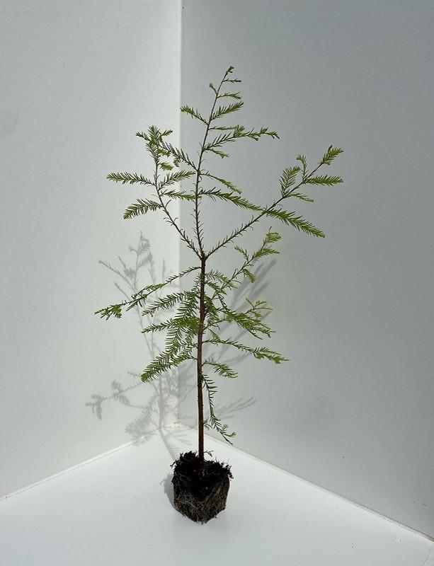 Taxodium distichum - Swamp Cypress