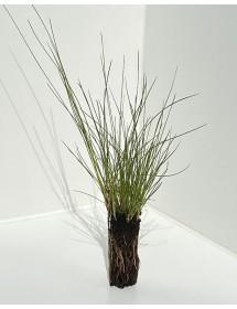 Eriophorum angustifolium - Cottongrass