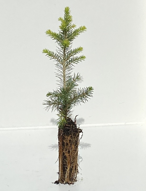 Picea orientalis - Oriental Spruce