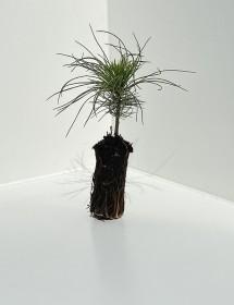 Pinus peuce - Macedonian Pine