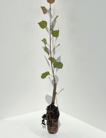 Populus Hybrid - Hybrid Poplar