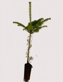 Abies fraserii - Fraser Fir