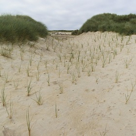 Newly planted Marram Grass