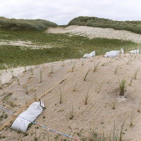 Jute mulch on newly planted Marram Grass