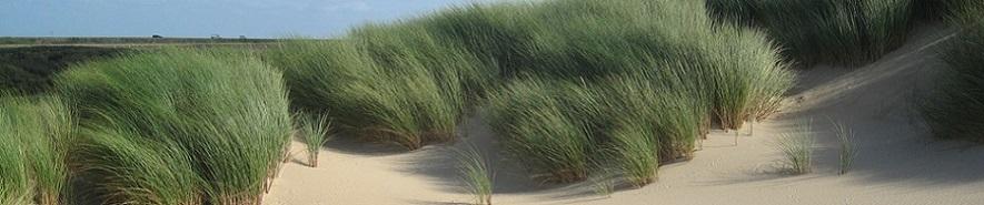 Ammophila arenaria - Marram Grass on sand dunes